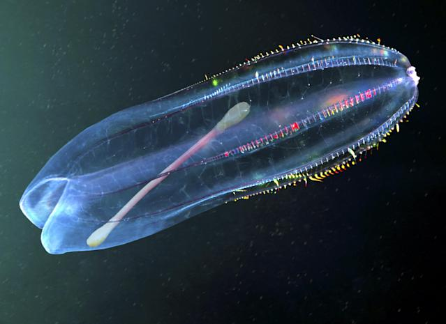 <p>A cotton swab is seen inside a comb jelly. This transparent animal, a planktonic predator, feeds mostly on other comb jellies that are pulled into its large mouth and swallowed whole. (Photo: Paulo Di Oliviera/ARDEA/Caters News) </p>
