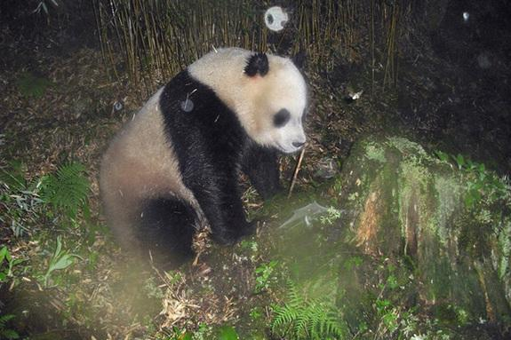 This image shows a giant panda in the Wang Lang Natural Reserve in Sichuan province, southwestern China. It was captured by a camera trap set up by the World Wildlife Fund and its local partners as part of an effort to obtain footage of endange