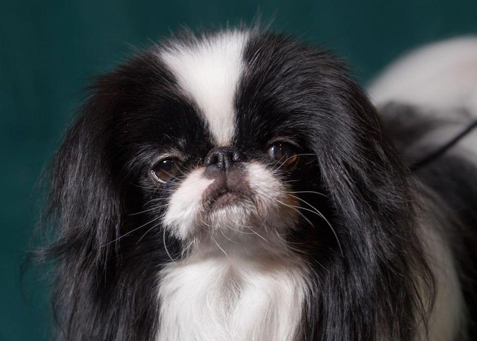 <p>Another royal on the list is the Japanese Chin! They are very much indoor dogs and love nothing more than to cuddle with you at home. </p><p><strong>Weight: 7-11 pounds</strong></p>