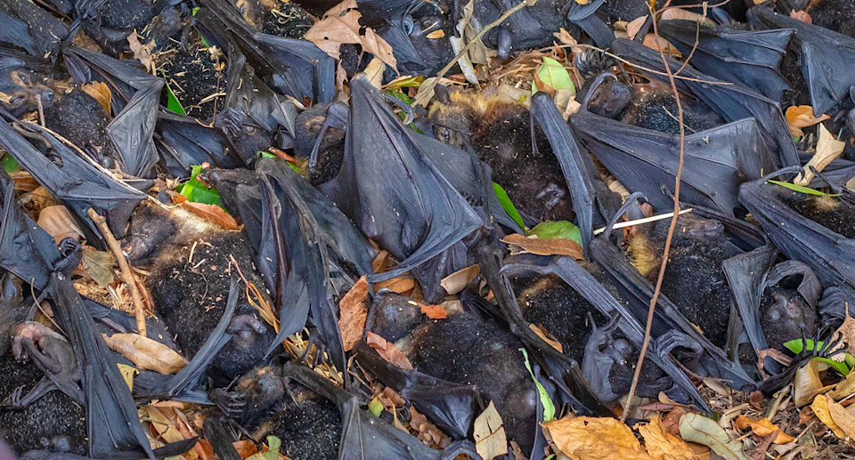 Piles of dead flying foxes found during the  summer. Source: David White / HSI