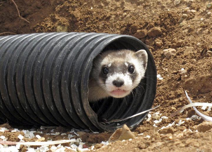 FILE - This Oct. 1, 2014, file photo shows a black-footed ferret peeking out of a tube after being brought to a ranch near Williams, Ariz.  To help black-footed ferrets, the U.S. Fish and Wildlife Service and others plan to vaccinate prairie dogs against plague in several Western states later this year. (AP Photo/Felicia Fonseca, File)
