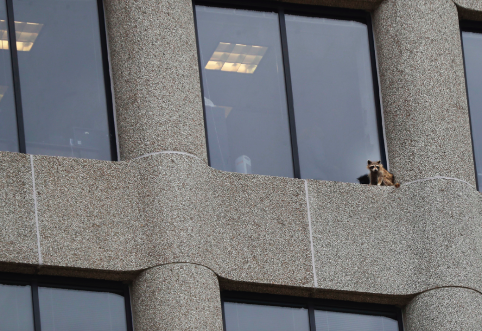 <em>Onlookers and reporters tracked the critter's progress at it climbed the UBS Tower (PA)</em>