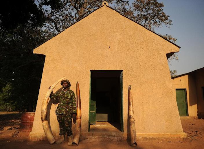 A scout stands next to elephant tusks confiscated from poachers at Garamba National Park (AFP Photo/Tony Karumba)