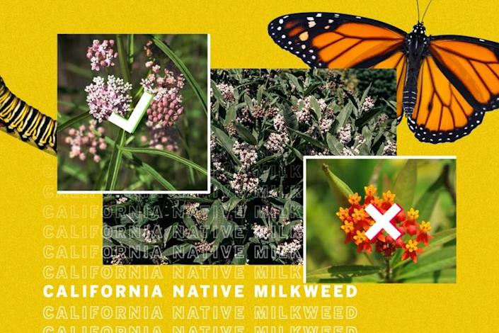 """Some milkweeds are beneficial for butterflies. Some are deadly. <span class=""""copyright"""">(Ross May / Los Angeles Times; Getty Images)</span>"""