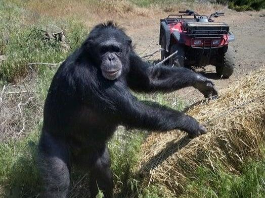 Chimpanzee Buck turned on his owners at the Buck Brogoitti Animal Rescue in Oregon (Facebook / Buck Brogoitti Animal Rescue)