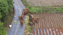 In this photo taken June 4, 2021 and released by Yunnan Forest Fire Brigade, a migrating herd of elephants roam through farmlands of Shuanghe Township, Jinning District of Kunming city in southwestern China's Yunnan Province. Already famous at home, China's wandering elephants are now becoming international stars. Major global media, including satellite news stations, news papers and wire services are chronicling the herd's more-than year-long, 500 kilometer (300 mile) trek from their home in a wildlife reserve in mountainous southwest Yunnan province to the outskirts of the provincial capital of Kunming. (Yunnan Forest Fire Brigade via AP)