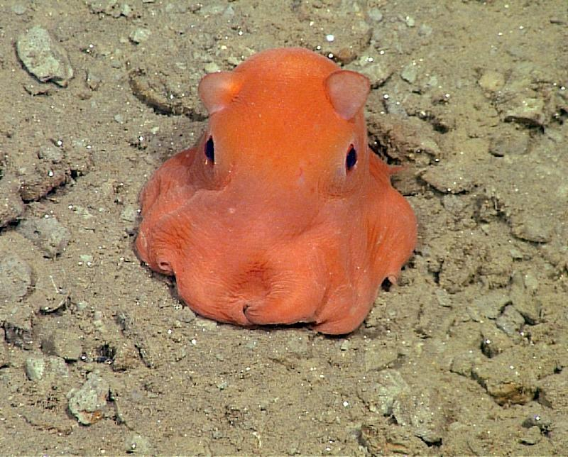 "This handout photo from the Monterey Bay Aquarium Research Institute shows the flapjack octopus, which scientists may call ""Opisthoteuthis Adorabilis"""