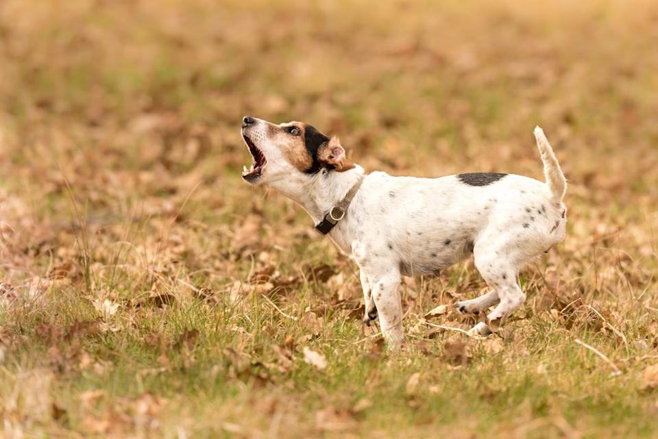 A barking Jack Russell terrier. (PHOTO: Getty Images)