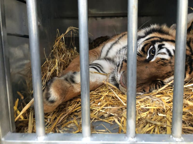 A tiger is pictured before transport to Spain at zoo in Poznan