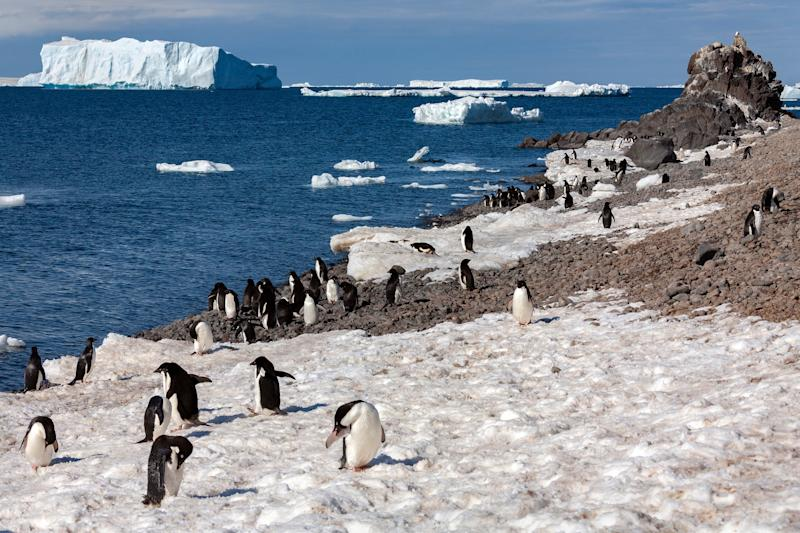 A modern Adelie penguin colony in Antarctica (Getty)