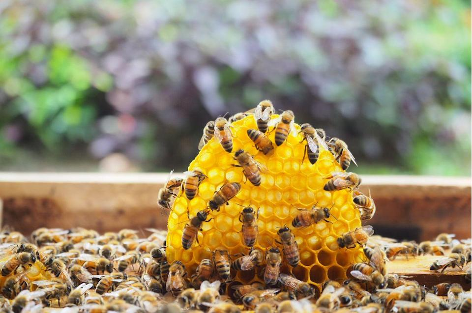"""<p><strong>Honey Bee<br><br></strong>Gift shops around the state of Maine jokingly refer to the mosquito as the state """"bird"""" because that stinging bug is everywhere, but the actual state insect of Maine is the popular honey bee. <br></p>"""