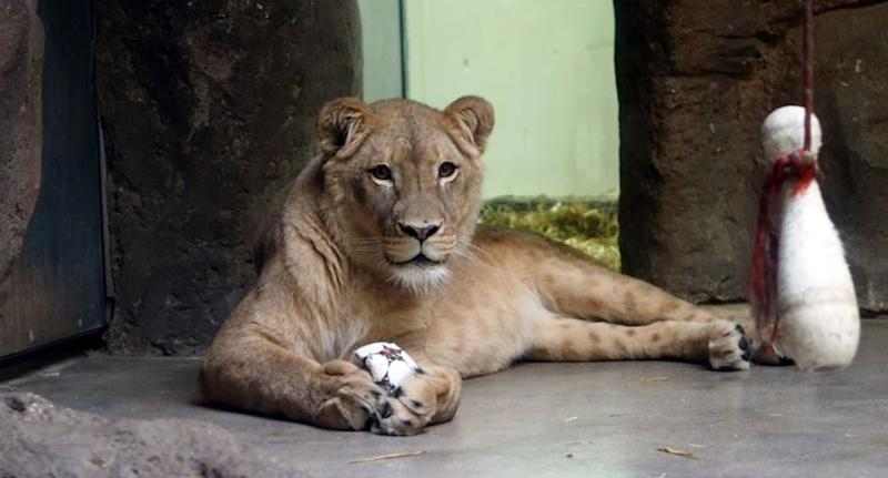 Male lion at German zoo shown after his mating partner, Kigali, ate her two cubs.