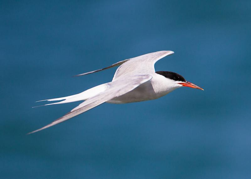 The designations will benefit common terns (Natural England/PA)