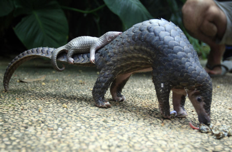 Singapore makes second enormous seizure of pangolin scales in days