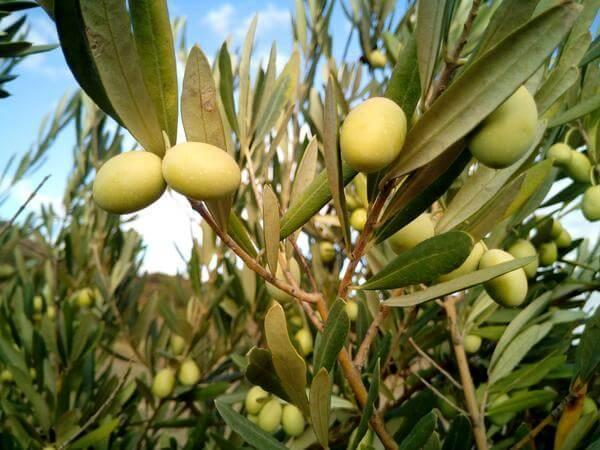 Squalene can be obtained from plants also