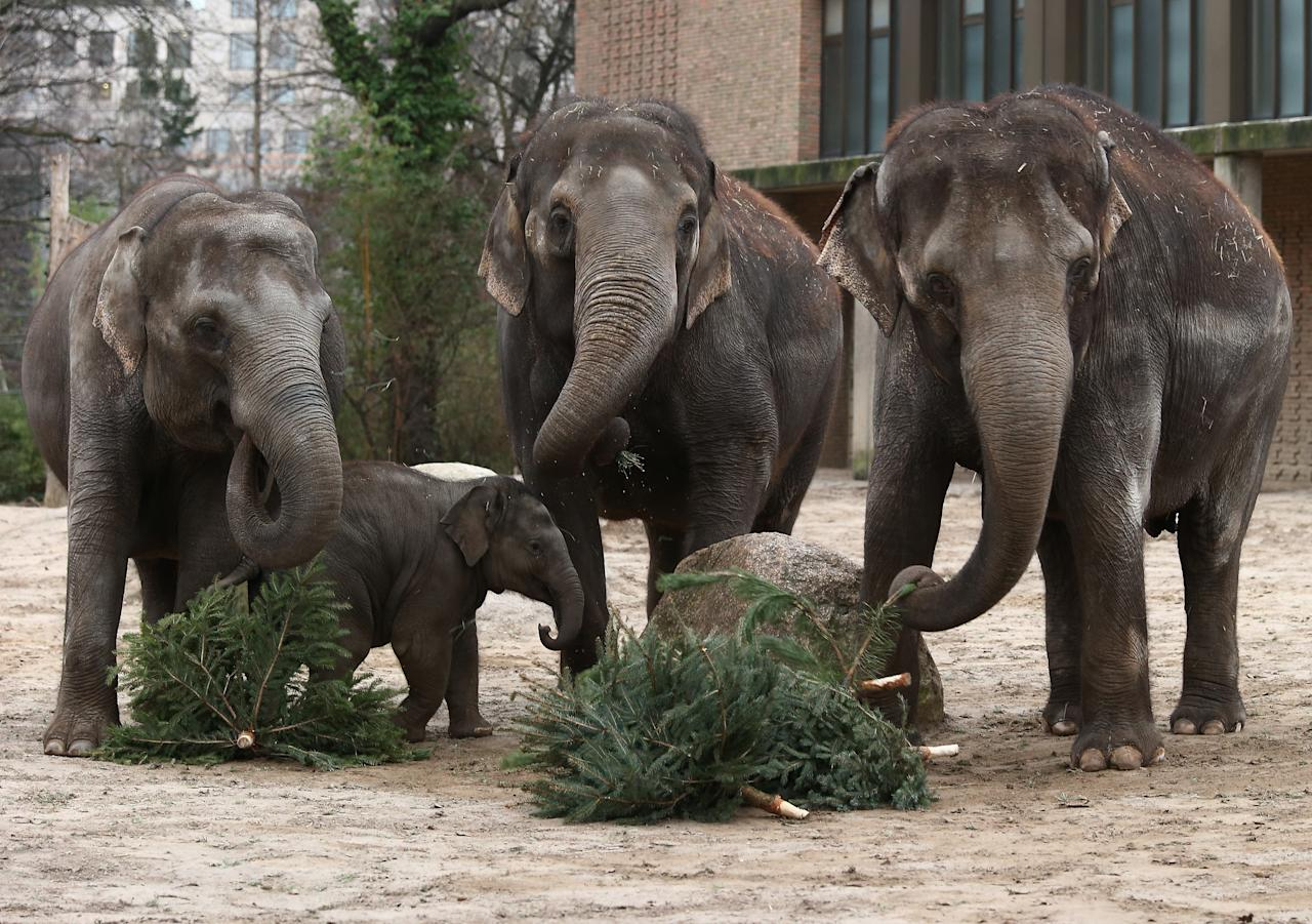 Elephants munch on Christmas trees in their enclosure at Berlin's Zoologischer Garten zoo on January 4, 2013 in Berlin, Germany. Traditionally, the animals get in the first week of the year leftover Christmas trees.  (Photo by Andreas Rentz/Getty Images)
