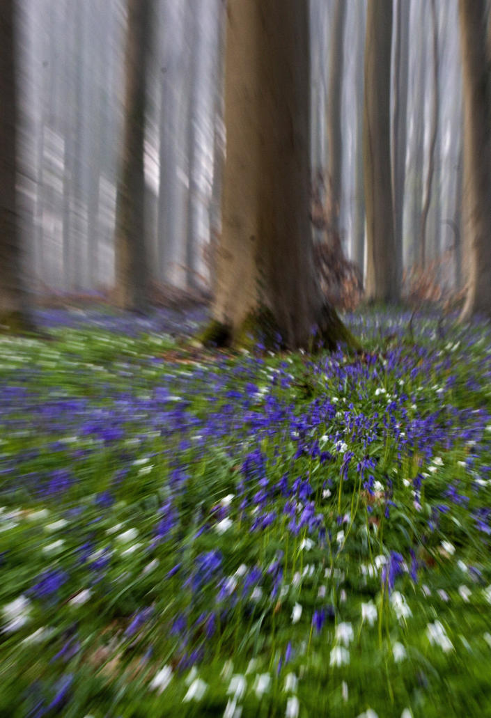 Bluebells, also known as wild Hyacinth, bloom on the forest floor of the Hallerbos in Halle, Belgium, Tuesday, April 20, 2021. There is no stopping flowers when they bloom or blossoms when they burst in nature, but there are efforts by some local authorities to limit the viewing. Due to COVID-19 restrictions visits to the forest to see the flowers has been discouraged for a second year in a row. (AP Photo/Virginia Mayo)
