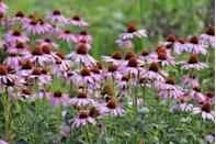 <p>Also known as echinacea, purple coneflower is a dainty choice for those in USDA Hardiness Zones 3-8. The perennial blooms in the summer.</p>