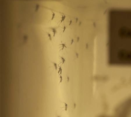 Health Canada photo of a colony of adult Culiseta inornata mosquitoes tested for Zika transmission at the National Microbiology Laboratory