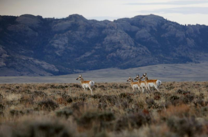 Pronghorn walk through the sage in the early morning in April near Dry Creek in southern Natrona County. Wyoming is the least-populated state in the country, with 585,000 residents.