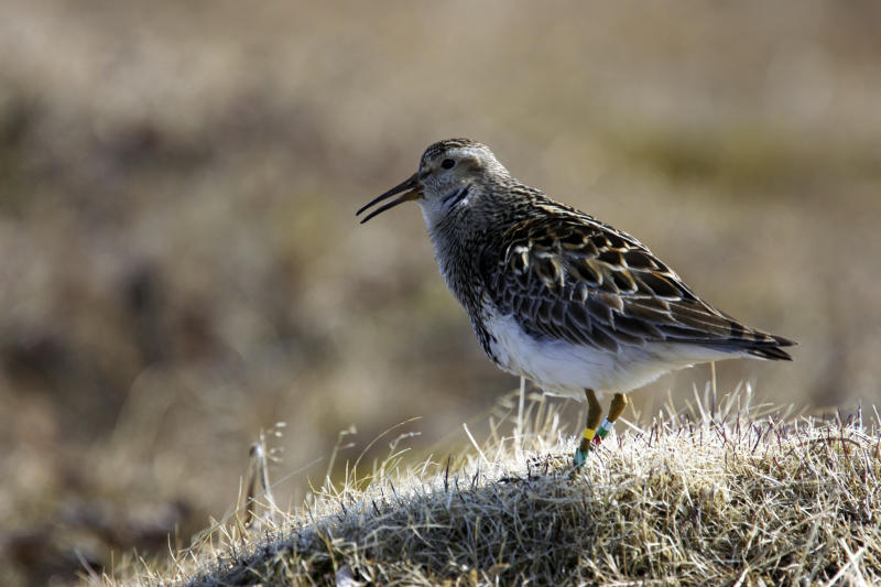 In this image provided by Bart Kempenaers via the Max Planck Institute for Ornithology, an ale pectoral sandpiper on the tundra near Barrow, Alaska, calling to attract a female. (Bart Kempenaers/Max Planck Institute for Ornithology via AP)