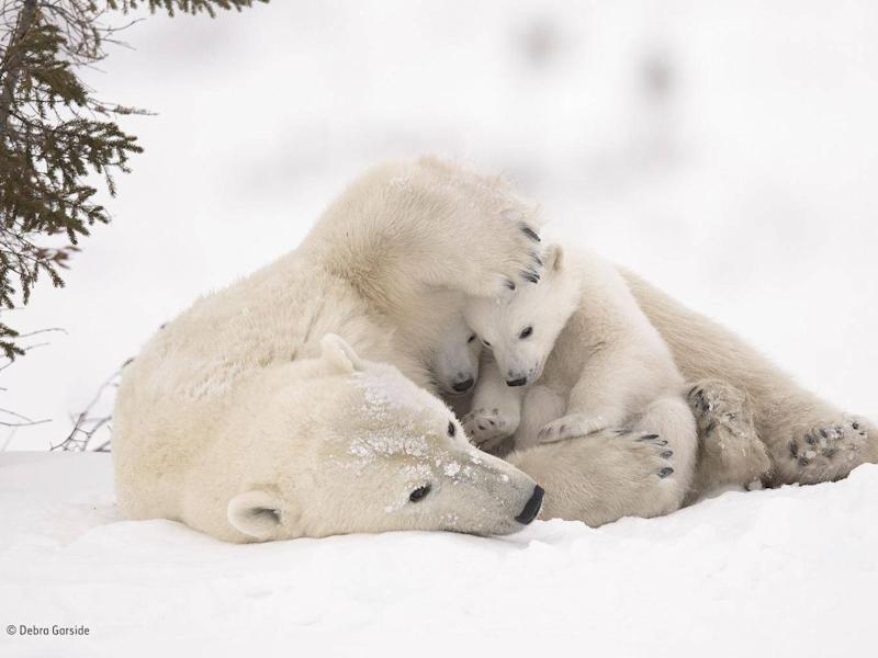 Another shortlisted photograph shows a polar bear mother and her cubs emerging from their den in early spring (Debra Garside/Wildlife Photographer of the Year)