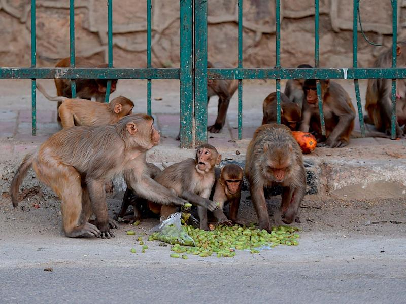 File image from 10 April 2020 of monkeys eating fruit on a street during a government-imposed nationwide lockdown as a preventive measure against the Covid-19 coronavirus in New Delhi, India: Money Sharma/AFP via Getty Images
