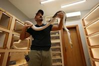 Saudi breeder Faisal Malaikah carries a reticulated python at his house in the Red Sea resort of Jeddah (AFP/Fayez Nureldine)