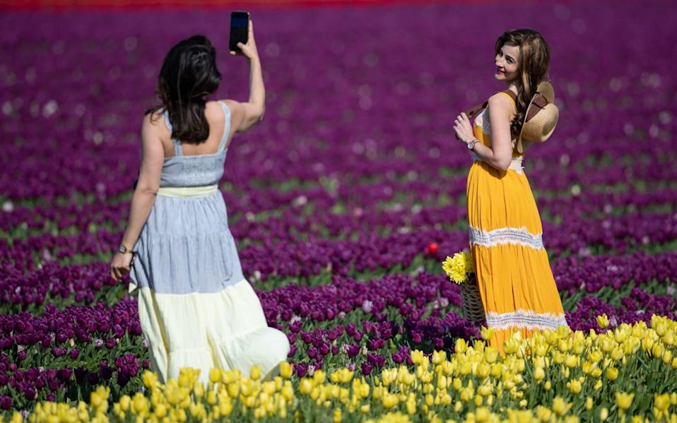 The tulip fields of King's Lynn are in full bloom - PA