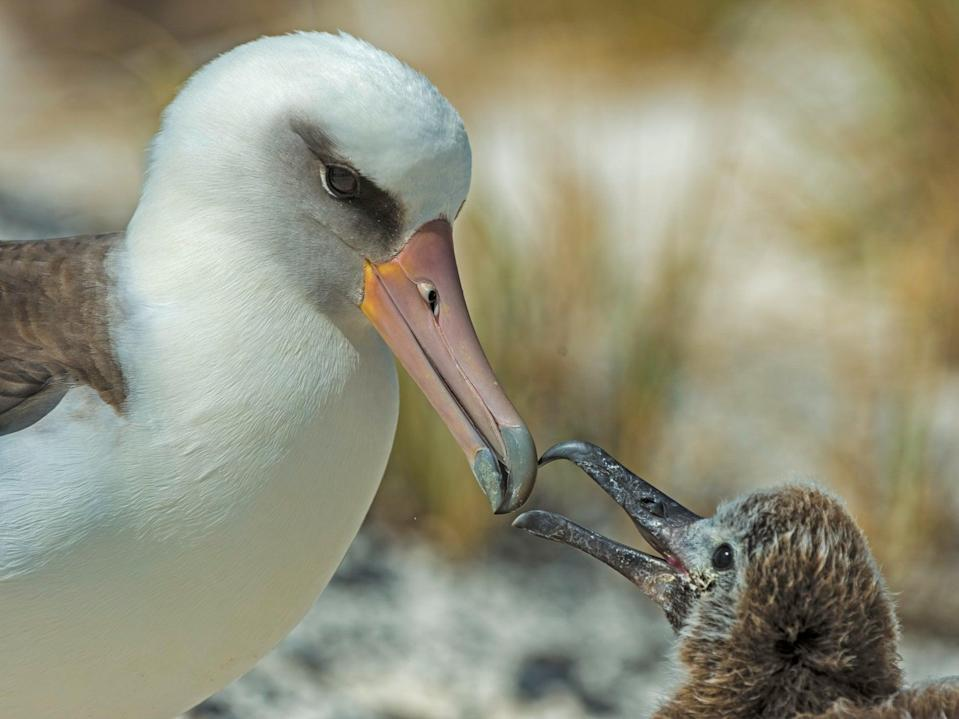 A Laysan albatross feeds its chick on Midway Atoll in the North Pacific. Albatrosses do not rear chicks every year (Getty)