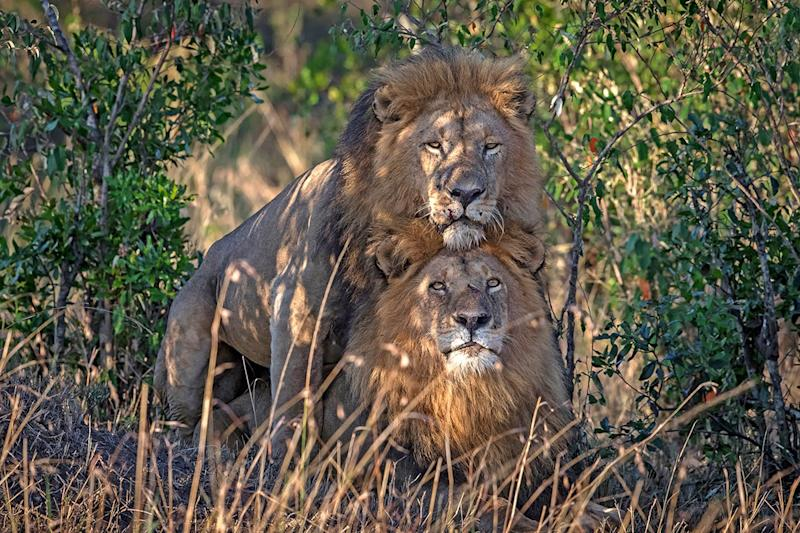 ONE-TIME USE - male lions