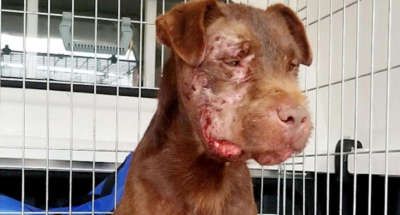 The dog was left with severe injuries after the illegal fight (SWNS)