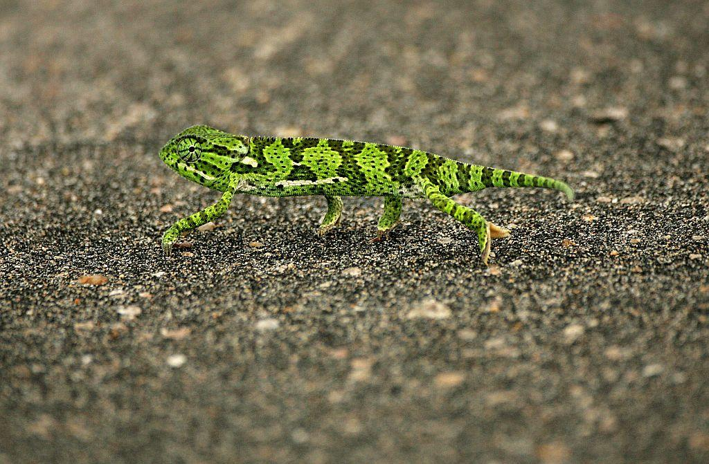 A flap-neck chameleon (Chamaeleo dilepis) crosses a road in Kruger National Park in Mpumalanga, South Africa.