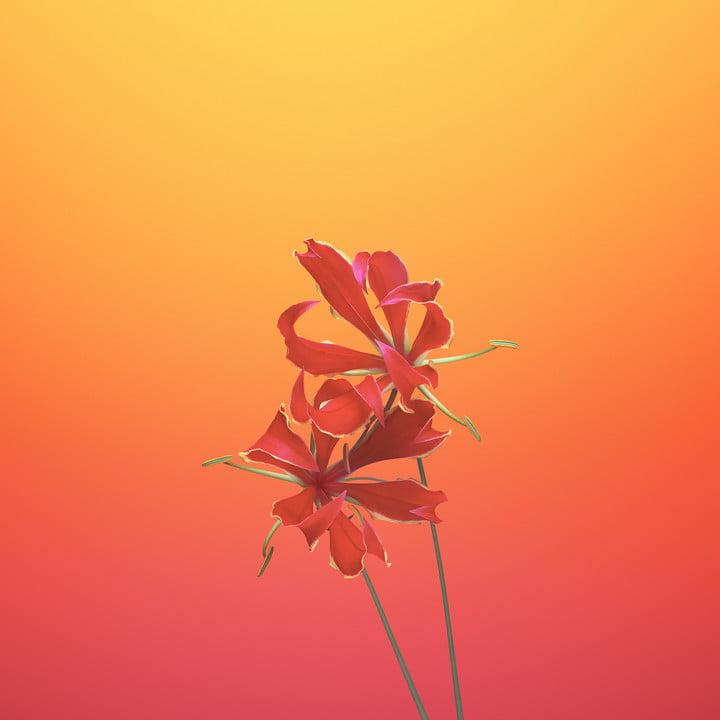 ios 11 wallpapers flower gloriosa