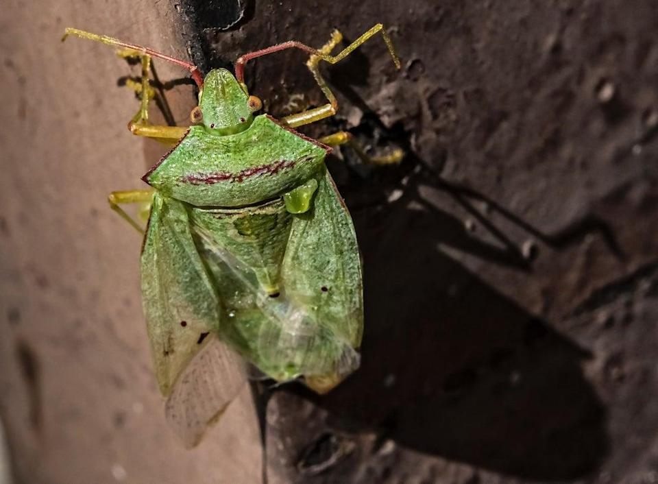 Stock image: A green stink bug (Nezara Viridula) is seen at a garden in Mexico City (AFP via Getty Images)