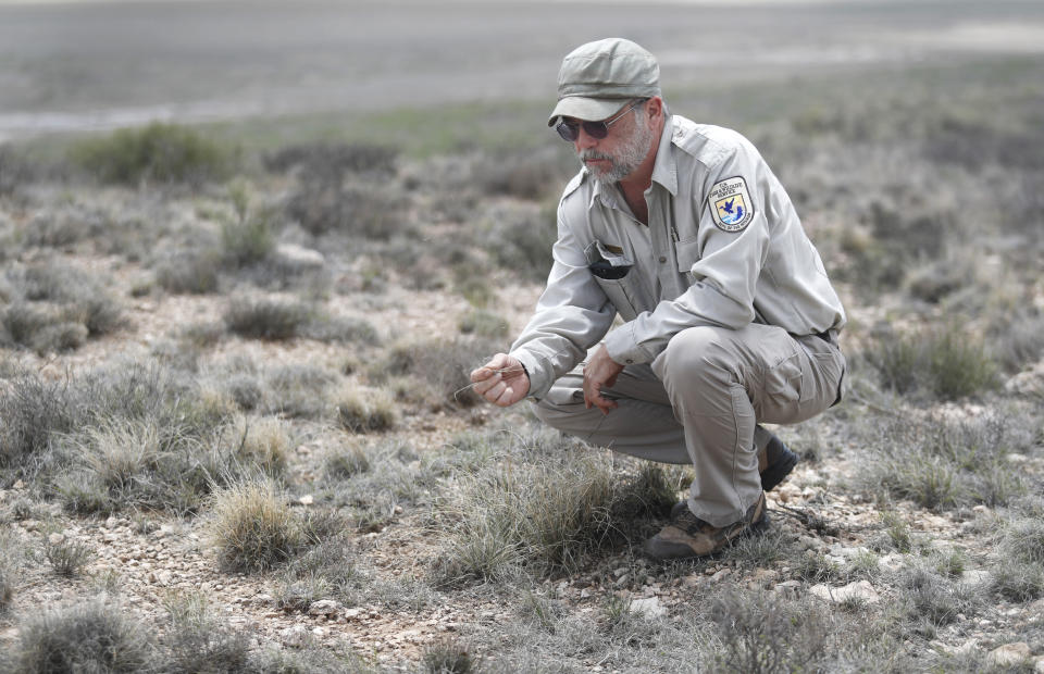 """Biologist Jude Smith looks over native grasses at the Muleshoe National Wildlife Refuge outside Muleshoe, Texas, on Tuesday, May 18, 2021. The U.S. Department of Agriculture is encouraging farmers in a """"Dust Bowl zone"""" that includes parts of Texas, New Mexico, Oklahoma, Kansas and Colorado to preserve and establish grasslands, which can survive drought and prevent wind erosion. (AP Photo/Mark Rogers"""