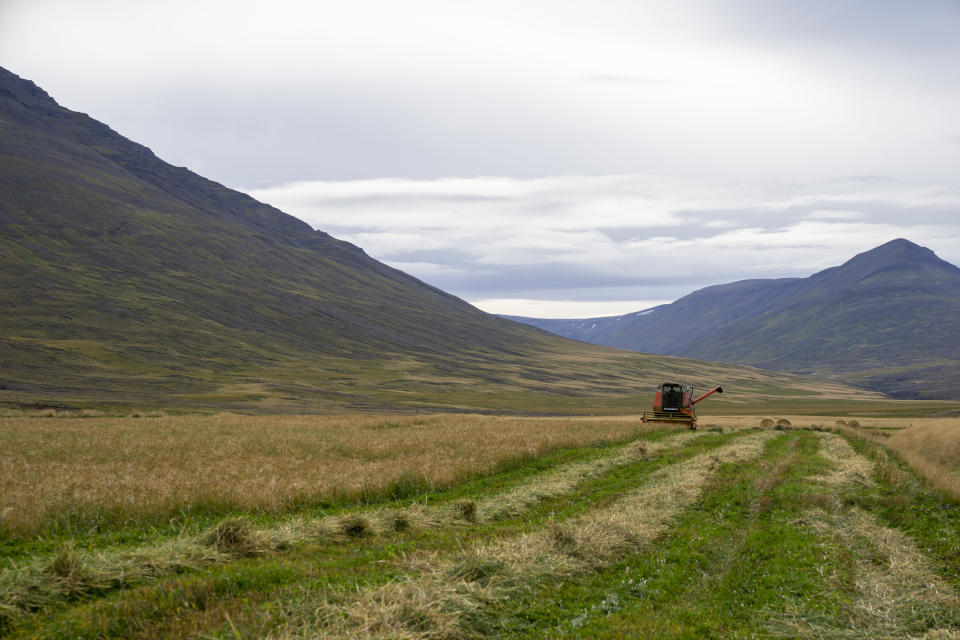 """Farmer Hermann Gunnarsson gathers his largest harvest of barley in thirty years in Eyja Fjord, northern Iceland Saturday, Sept. 18, 2021. Gunnarsson, said warmer temperatures are an opportunity to expand local production. """"The climate coin has two sides,"""" he said. """"But the politicians who talk the most about climate change are afraid to speak about the benefits, too."""" Climate change is top of the agenda when voters in Iceland head to the polls for general elections on Saturday, following an exceptionally warm summer and an election campaign defined by a wide-reaching debate on global warming. (AP Photo/Egill Bjarnason)"""