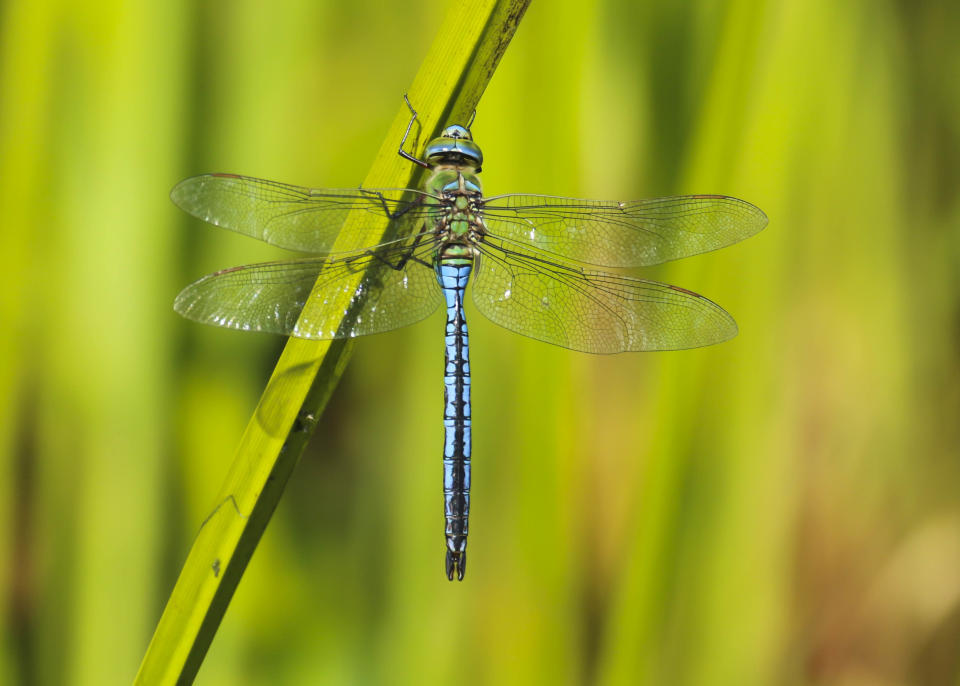 A close up of a beautiful blue and green Emperor Dragonfly (Anax imperator) resting on the reeds near the edge of a pond at Forest Farm Nature Reserve, Cardiff, Wales, UK