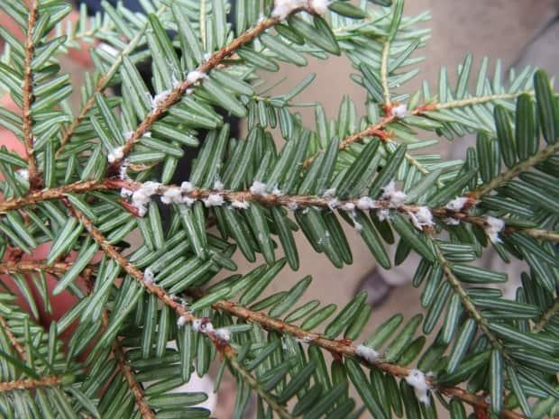 A hemlock branch is infested with the adelgid. Parks Canada is planning to tackle the invasive insect with a new plan that includes injecting trees with insecticide.  (Parks Canada - image credit)