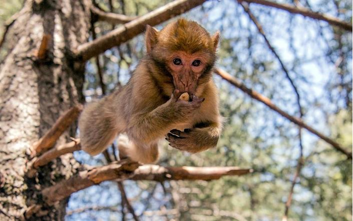 The only specias of macaque outside Asia, the Barbary macaque lives on leaves and fruits and can weigh up to 20 kilogrammes (45 pounds) (AFP Photo/FADEL SENNA)