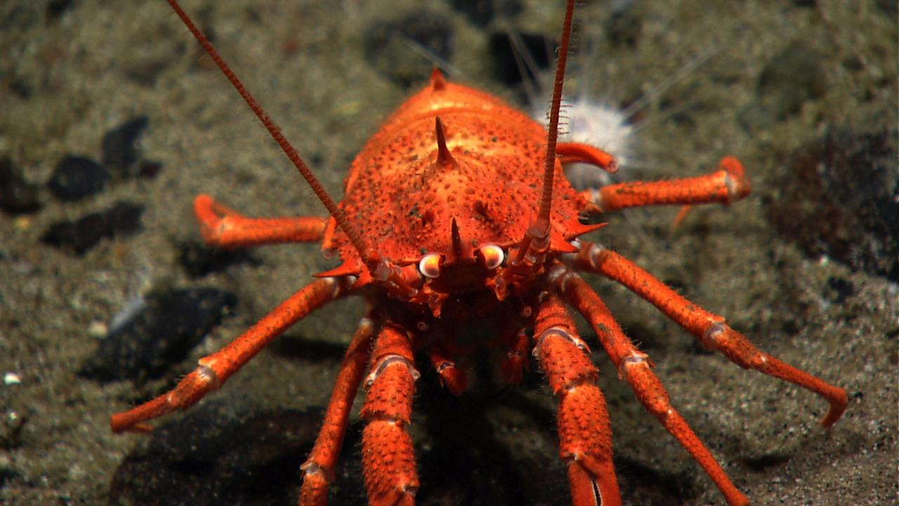 <p></p><p><span>The squat lobster (genus Euminida) is more closely related to hermit crabs than to true lobsters. They generally fold their tails and hide in crevices on the seafloor or amongs corals. They use their long arms and claws to scavenge food but also can grab large zooplankton and small fish from the water column as they drift by. (Photo: Atlantic Canyons and Seamounts 2014 Science Team/NOAA Okeanos Explorer Program)</span> </p><p></p>