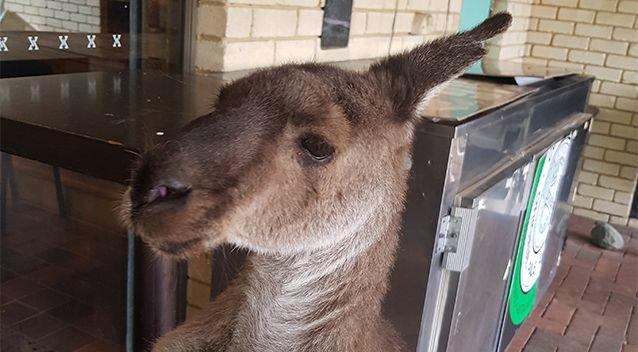The tavern staff have been told they can no longer feed the kangaroos. Source: Supplied / Megan Braid