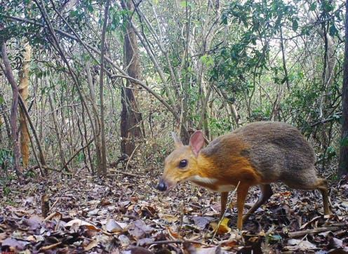 "<span class=""caption"">Until its rediscovery, the silver-backed chevrotain was among Global Wildlife Conservation's 25 ""most wanted lost"" species.</span> <span class=""attribution""><a class=""link rapid-noclick-resp"" href=""https://press.nature.com/camera-trap-evidence-that-the-silver-backed-chevrotain-tragulus-/17329412"" rel=""nofollow noopener"" target=""_blank"" data-ylk=""slk:SIE/GWC/Leibniz-IZW/NCNP"">SIE/GWC/Leibniz-IZW/NCNP</a></span>"