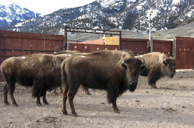 FILE - This March 9, 2016 file photo a group of Yellowstone National Park bison await shipment to slaughter inside a holding pen along the park's northern border near Gardiner, Mont. Montana Gov. Steve Bullock has blocked the impending slaughter of hundreds of Yellowstone National Park bison over disease concerns until a temporary home can be found for 40 animals wanted by an American Indian tribe. (AP Photo/Matthew Brown,File)