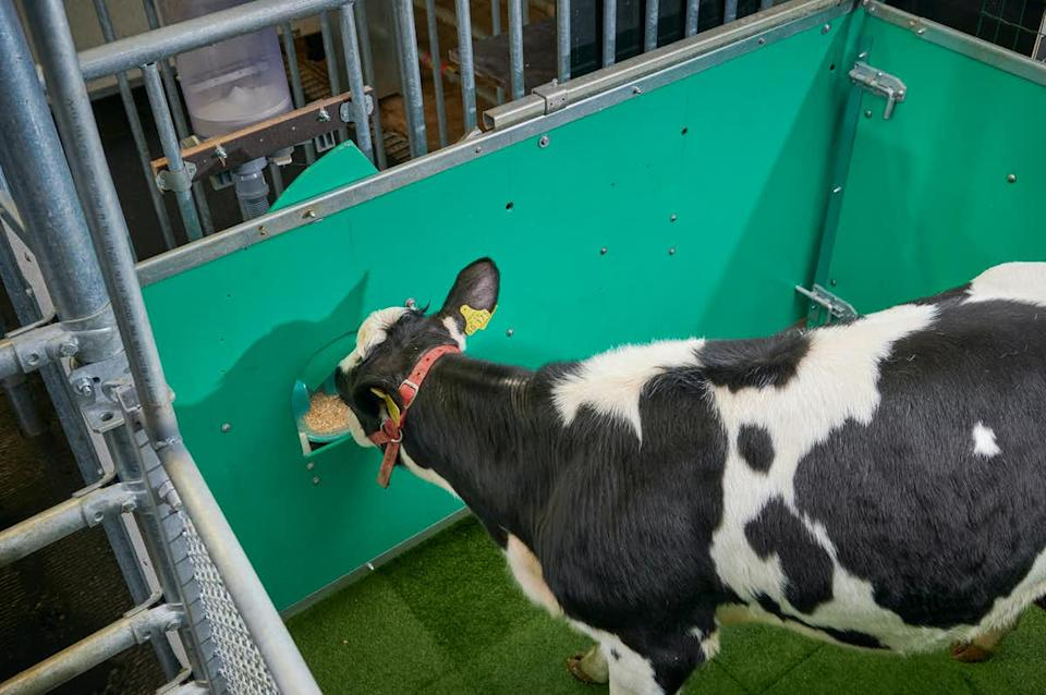 Calves were given a tasty treat after using the latrine pen. Source: Provided