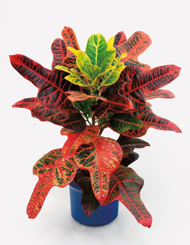 """<p><strong>Common name:</strong> Croton/ Joseph's coat</p><p><strong>Light: </strong>Good light</p><p><strong>Care:</strong> Keep slightly moist</p><p><strong>Tips: </strong>Prune top when plant becomes tall, and root like a stem tip cutting.</p><p><a class=""""body-btn-link"""" href=""""https://go.redirectingat.com?id=127X1599956&url=https%3A%2F%2Fwww.thompson-morgan.com%2Fp%2Fcodiaeum-variegatum-var-pictum-mrs-iceton-house-plant%2FTKA2880TM&sref=https%3A%2F%2Fwww.housebeautiful.com%2Fuk%2Fgarden%2Fplants%2Fg151%2Fbest-plants-kids-bedrooms%2F"""" target=""""_blank"""">BUY NOW</a></p>"""
