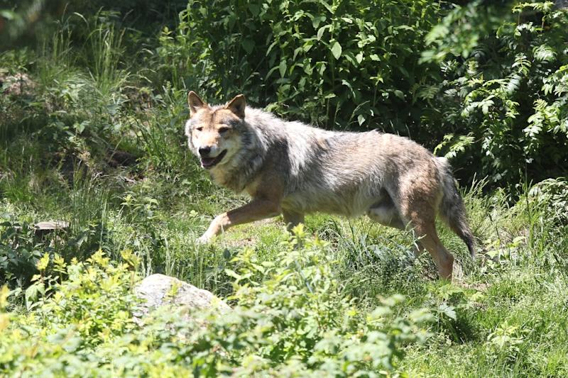 Starting in 1992, grey wolves started re-appearing in France, arriving across the Alps from Italy (AFP Photo/RAYMOND ROIG)