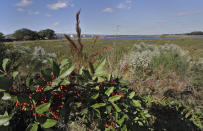 FILE - In this Tuesday, Dec. 11, 2018, file photo, wild berries grow along Valhalla Pond, in Riverview, Fla. A federal judge has thrown out Trump-era rule that ended federal protections for hundreds of thousands of small streams, wetlands and other waterways across the country. (AP Photo/Chris O'Meara, File)