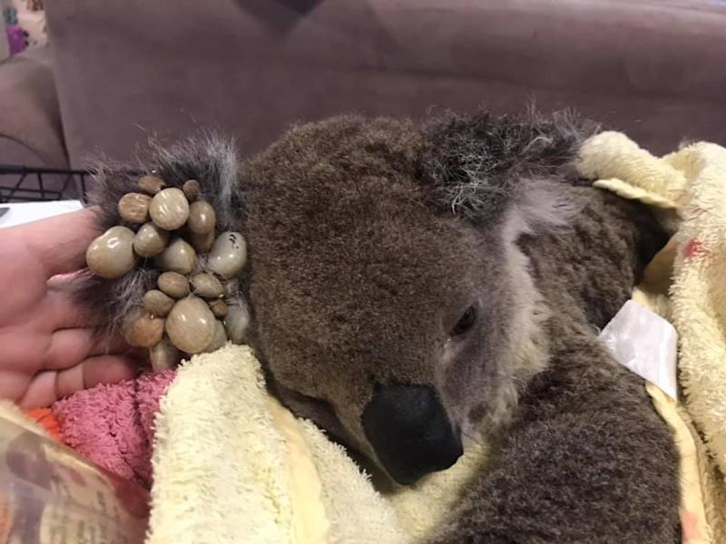 A hand directs a koala's ear to camera so the cluster of large ticks can be seen. It's lying on a yellow blanket.