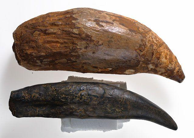 The killer whale's tooth (top) is bigger than that of the mighty T-Rex (bottom). Picture: Museum Victoria
